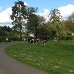 Cows on the driveway, Highmoor