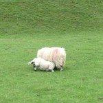 Lamb feeding with mum, Pentland Hills, Scotland