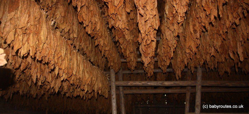Tobacco leaves drying on a farm, Vinales, Pinar del Rio, Cuba