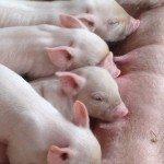 Piglets suckling, Odds Farm