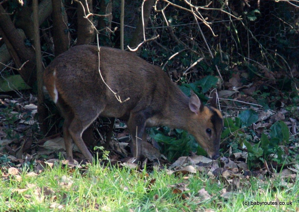 Muntjac Deer, Oxfordshire
