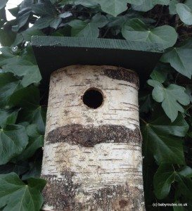 Bird box in oak tree and ivy