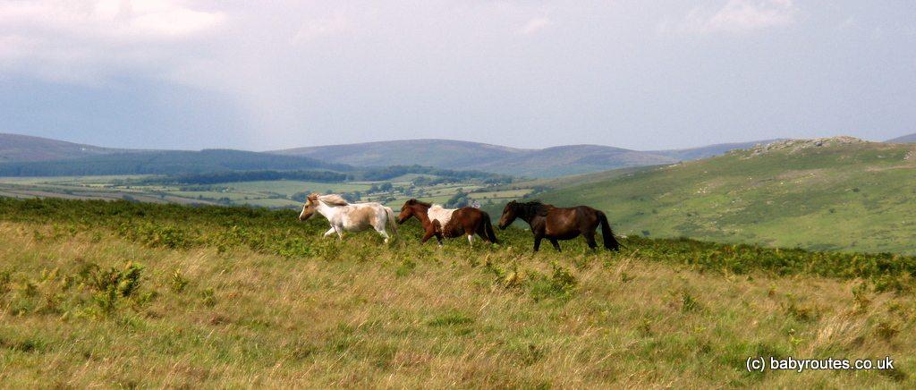 Dartmoor ponies out on the tor, Dartmoor National Park, Devon