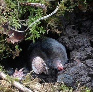 Mole tunnelling