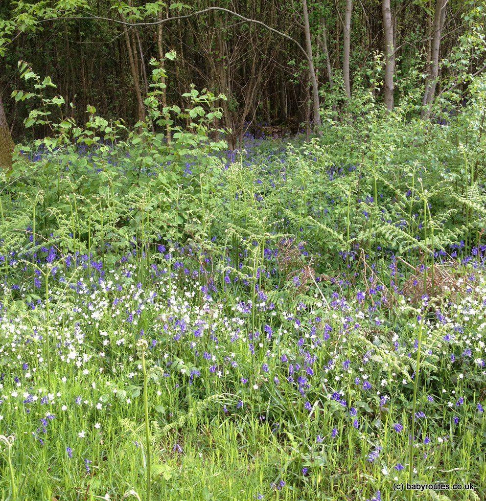 bluebells at Sissinghurst Castle, Kent