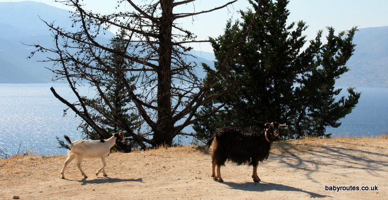 Goats on the road, Kefalonia.