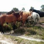 New Forest ponies, Lyndhurst short loop pushchair walk