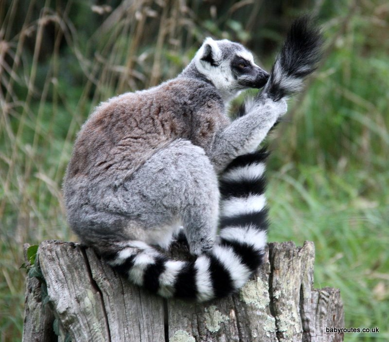 Ring tailed Lemur - durrell wildlife park, jersey