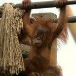 Baby orangutan Durrell Wildlife Park Jersey