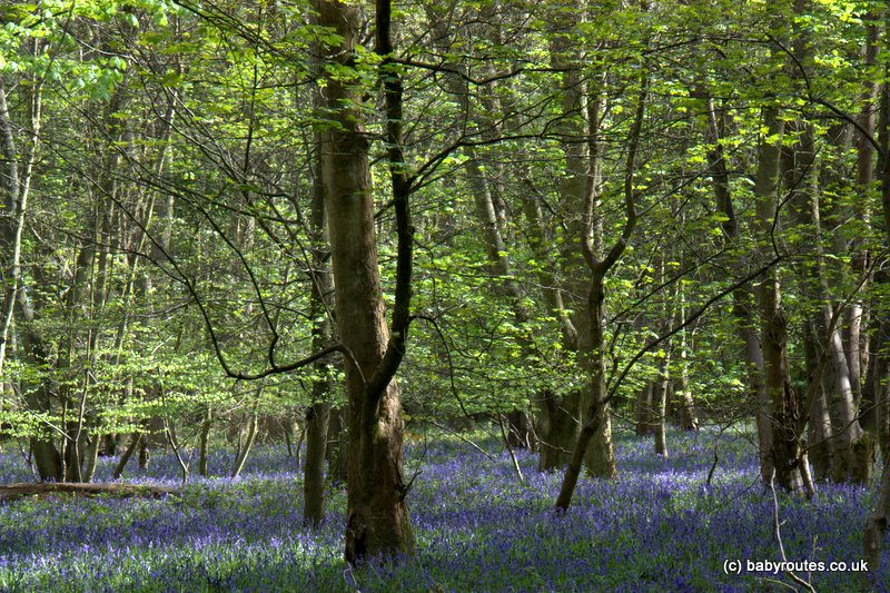 High Wood Binfield Heath Bluebells