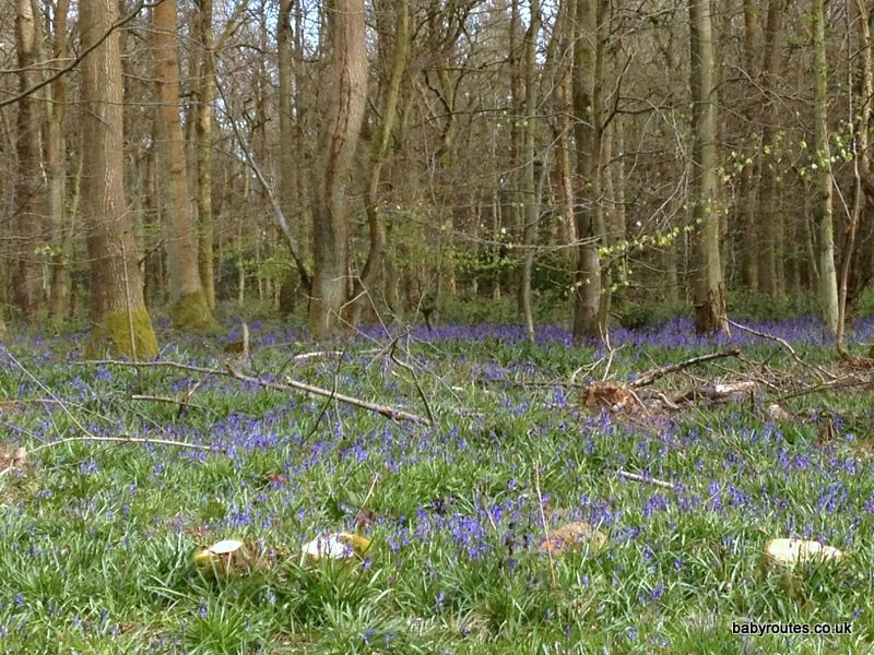 Cowleaze Woods Bluebell Walk