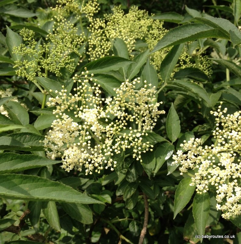 1 photo 2 5 Copy Hedgerow Harvest: How to make elderflower cordial