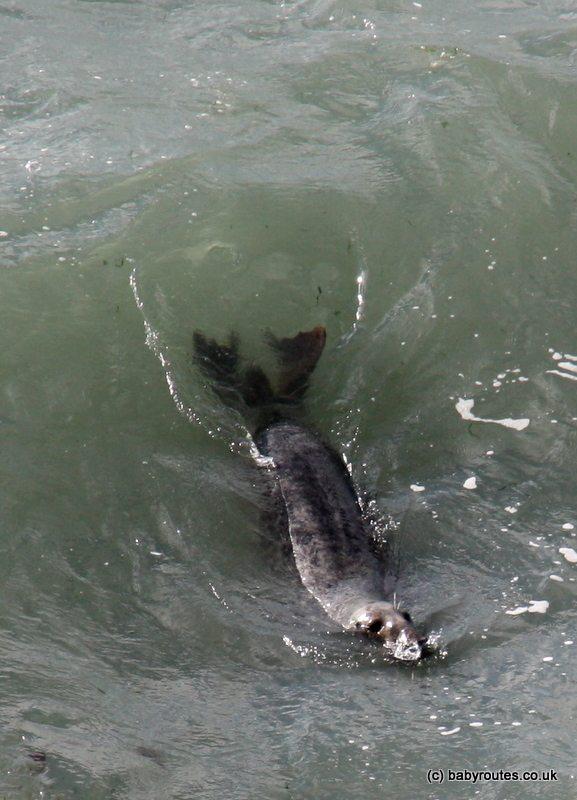 Surfing seal, St. Davids Head, Pembrokeshire, Wales