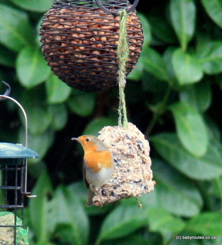 Robin on bird feeder, making bird pudding.