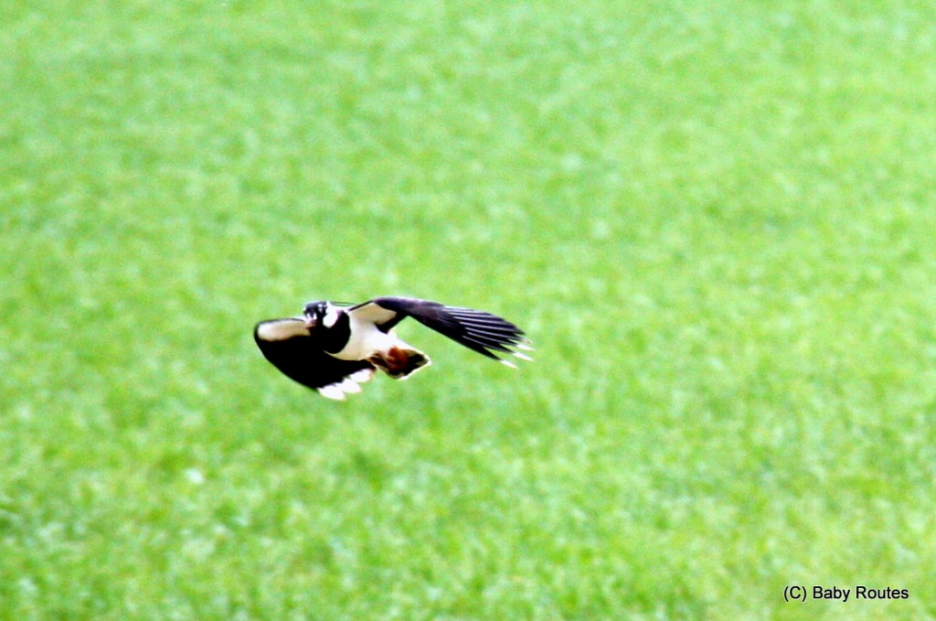 Lapwing, Thames Valley