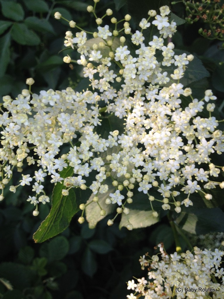Elderflower, Foraging, #30dayswild
