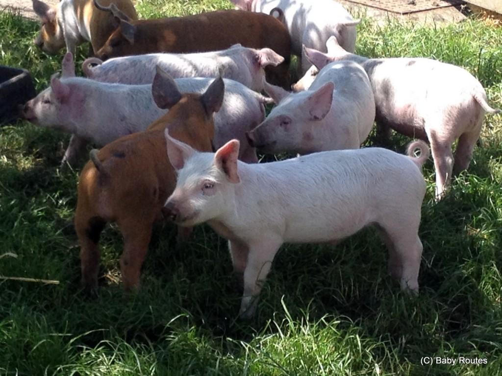 White Pond Farm,  Open Farm Sunday