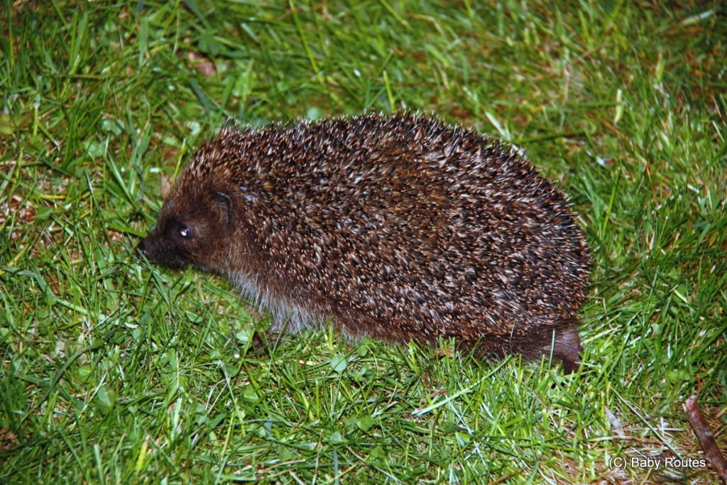 Hedgehog, #30dayswild
