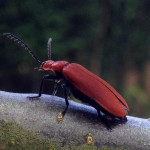 Cardinal Beetle, Bug hunt, #30dayswild