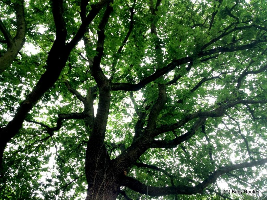 Oak tree canopy, #30dayswild nature naps and rain shelters