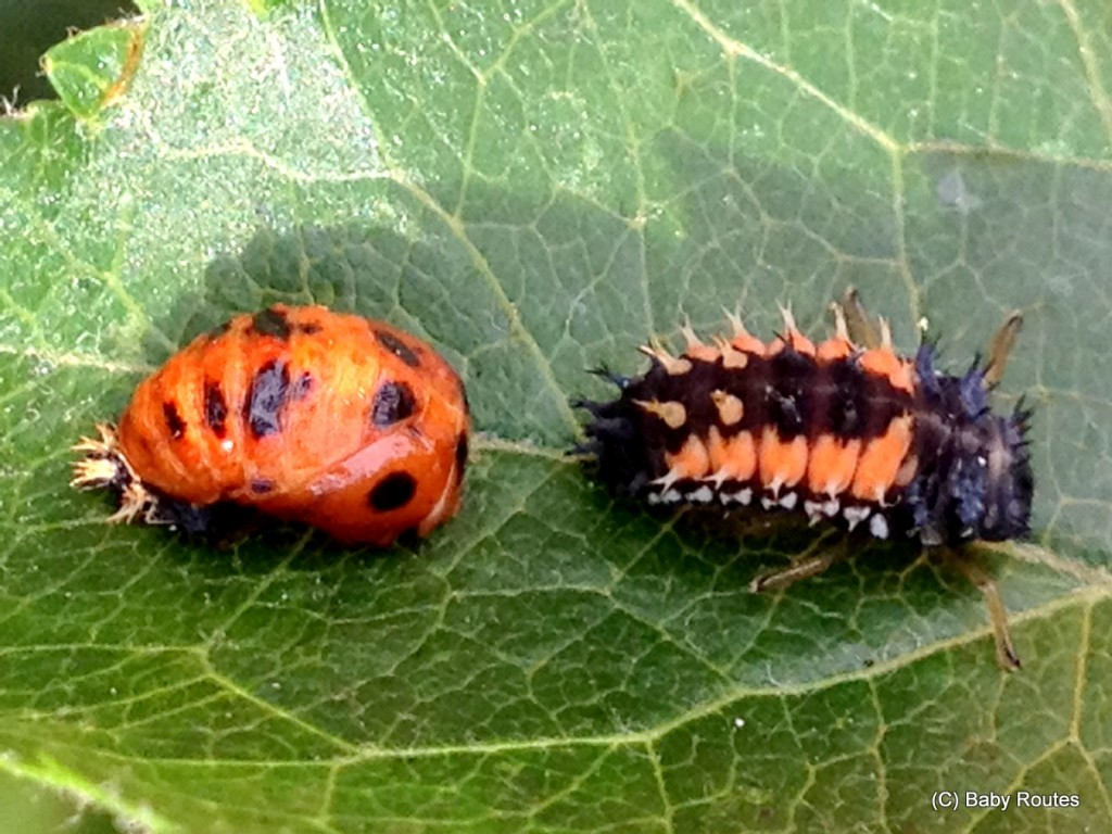 Pupating 7 spot ladybird and a ladybird lava, Gardening with ladybirds