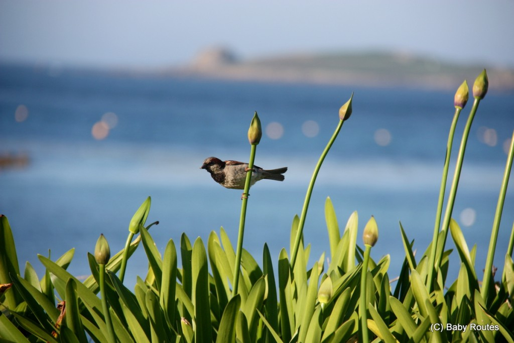 Sparow, Roo looking out over Tresco, Isles of Scilly Wildlife. and  Travel with Children