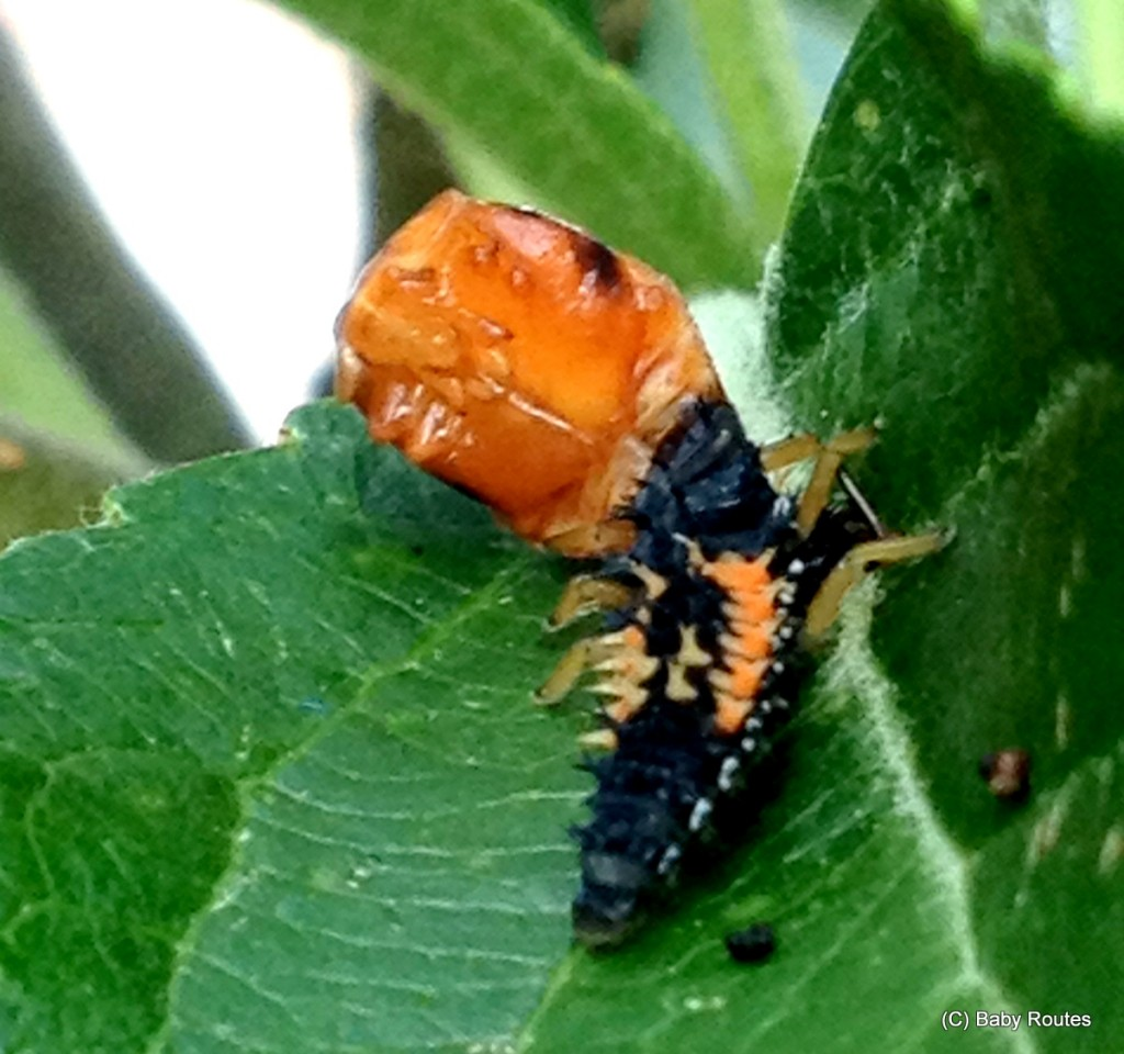 Green gardening with ladybirds and lacewing