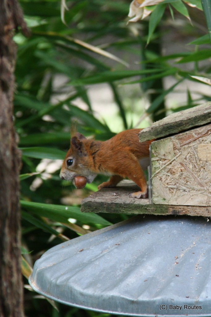 Red squirrel with nut, Tresco, Isles of Scilly Wildlife. and  Travel with Children