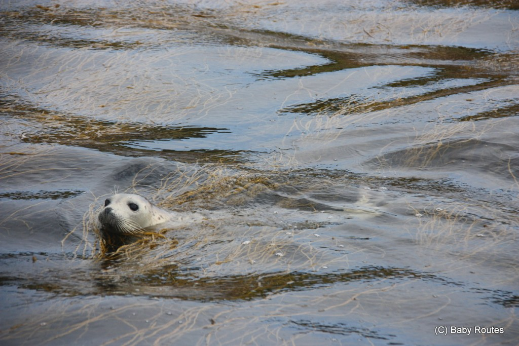 Atlantic Grey Seals, Isles of Scilly Wildlife. and Travel with Children