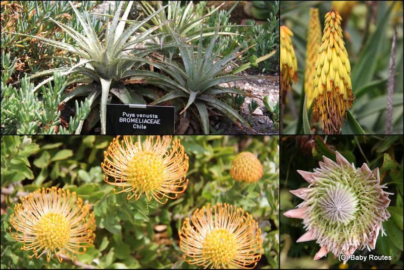 Tresco Abbey Gardens Flowers, Isles of Scilly