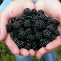 blackberry-214754_1280