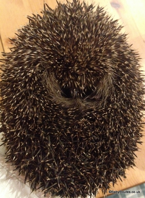 hedgehog curled up in a ball