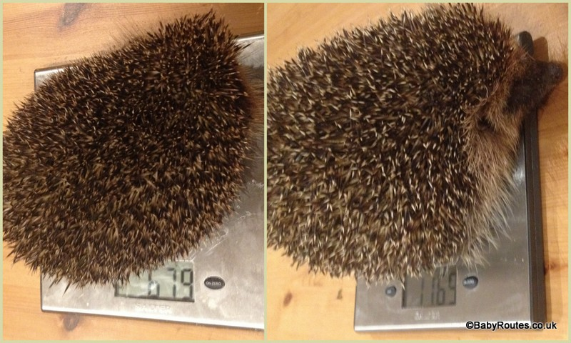 Hedgehog weigh-in