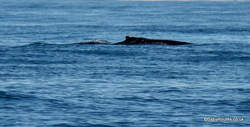 humpback whale, Whale watching, Dana Point, California