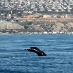 Humpback Whale, Whale watching, Dana Point, California
