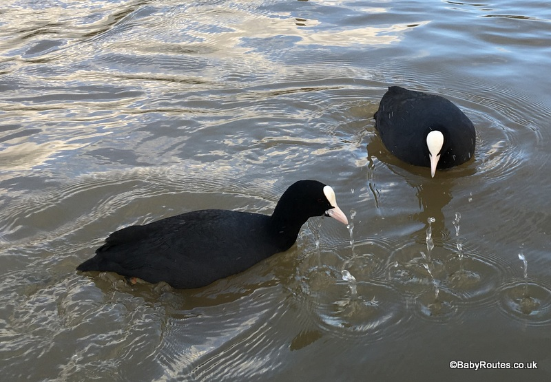 Coots, henley