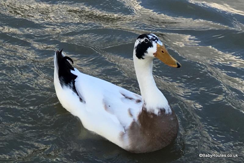duck, henley