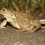 common-toad-854745_1920