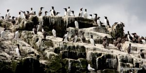 Guillemots, Farne Islands with children, Northumberland