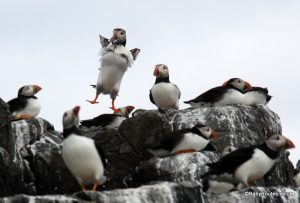 Puffins, Farne Islands with children, Northumberland