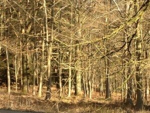 Winter woodlands on the Greys Court Estate walk, Henley on Thames
