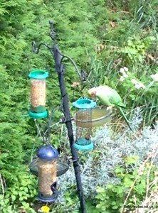 Green parakeet in Oxfordshire garden