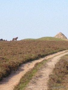 Dunkery Beacon Walk, Carin and Exmoor ponies, Dunkery Beacon, Exmoor.