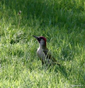Green Woodpecker in garden