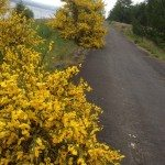Wild Broom, Old Valley Road, Bull Crag Peninsual, Kielder Water