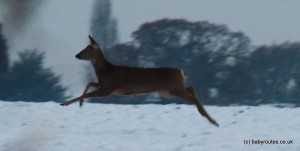 Jumping deer in the snow