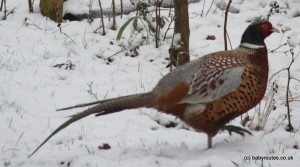Photo of pheasant in the snow