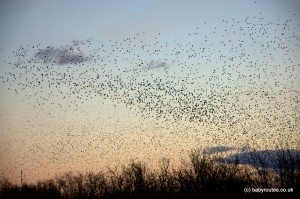 Murmuration of starlings changing direction, Shapwick Heath, Somerset Levels