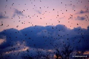 starling silhouette at sunset, Shapwick Heath, Somerset Levels