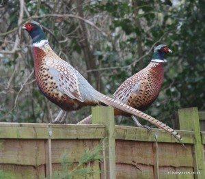 Phileas & Fogg, Pheasants